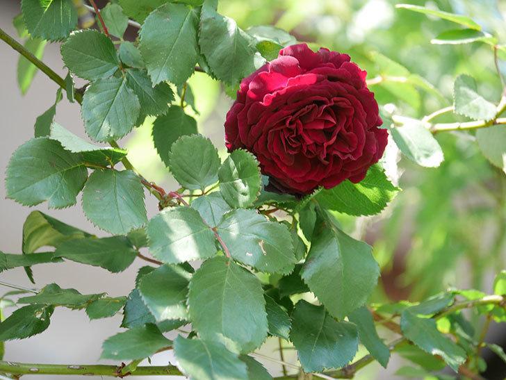 アンプルール・デュ・マロック(Empereur du Maroc)の花が増えてきた。ツルバラ。2021年-055.jpg