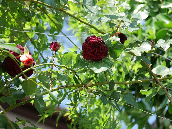 アンプルール・デュ・マロック(Empereur du Maroc)の花が増えてきた。ツルバラ。2021年-057.jpg