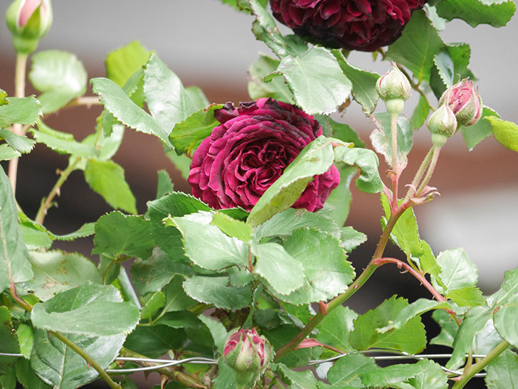 アンプルール・デュ・マロック(Empereur du Maroc)の花が増えてきた。ツルバラ。2021年-059.jpg