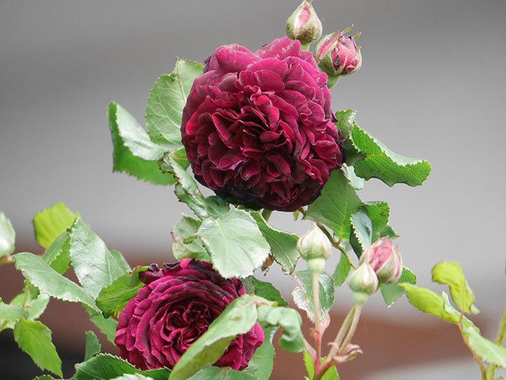 アンプルール・デュ・マロック(Empereur du Maroc)の花が増えてきた。ツルバラ。2021年-060.jpg
