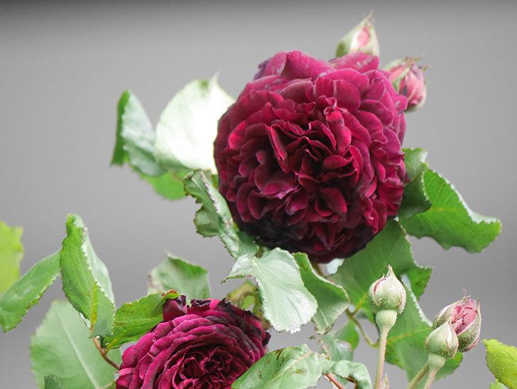 アンプルール・デュ・マロック(Empereur du Maroc)の花が増えてきた。ツルバラ。2021年-061.jpg