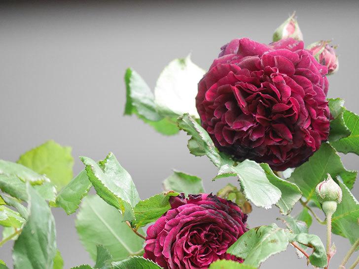 アンプルール・デュ・マロック(Empereur du Maroc)の花が増えてきた。ツルバラ。2021年-062.jpg