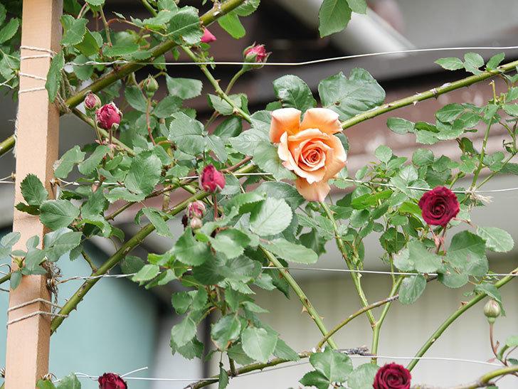 アンプルール・デュ・マロック(Empereur du Maroc)の花が増えてきた。ツルバラ。2021年-063.jpg