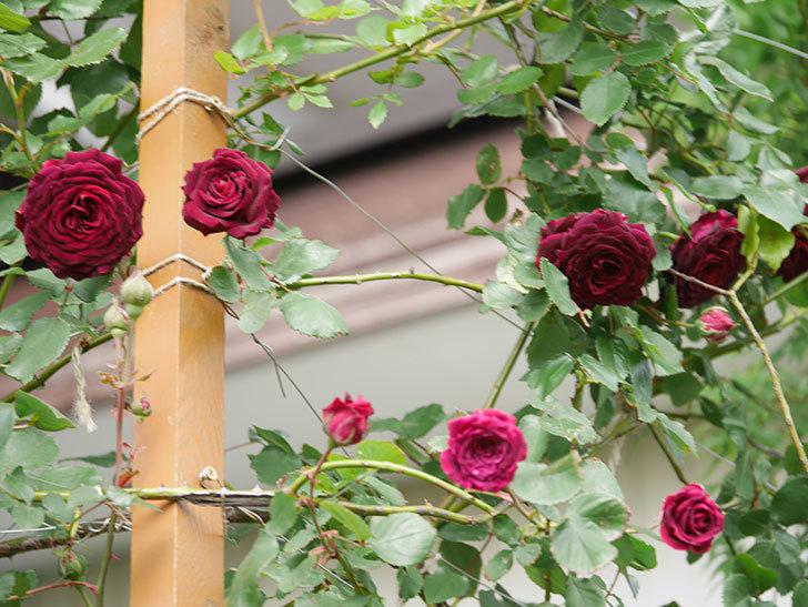 アンプルール・デュ・マロック(Empereur du Maroc)の花が増えてきた。ツルバラ。2021年-064.jpg