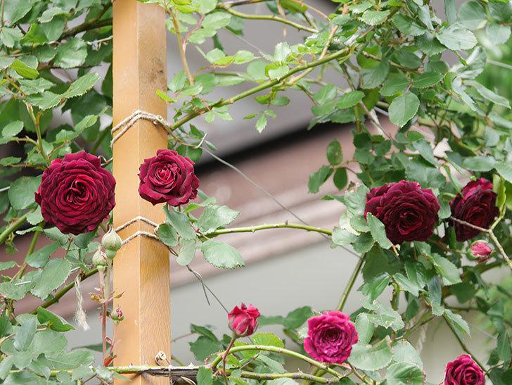 アンプルール・デュ・マロック(Empereur du Maroc)の花が増えてきた。ツルバラ。2021年-065.jpg