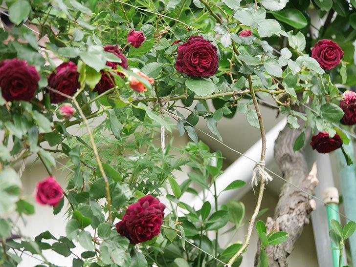 アンプルール・デュ・マロック(Empereur du Maroc)の花が増えてきた。ツルバラ。2021年-066.jpg