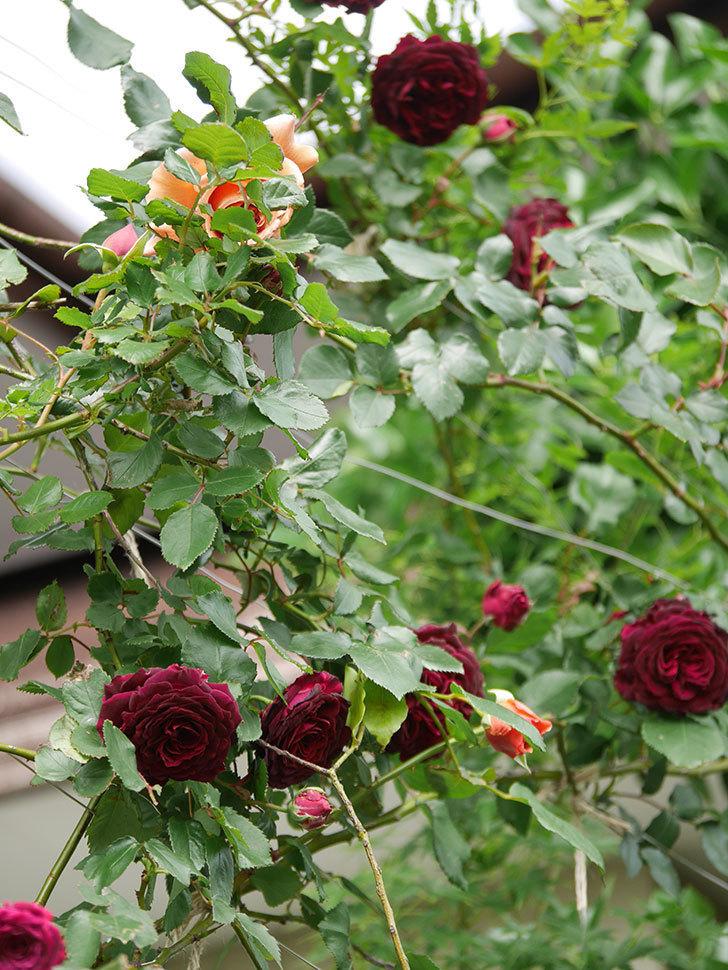 アンプルール・デュ・マロック(Empereur du Maroc)の花が増えてきた。ツルバラ。2021年-068.jpg