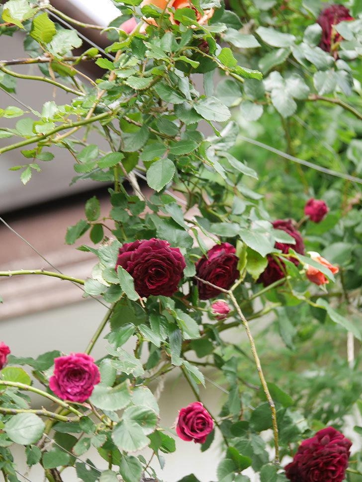 アンプルール・デュ・マロック(Empereur du Maroc)の花が増えてきた。ツルバラ。2021年-069.jpg