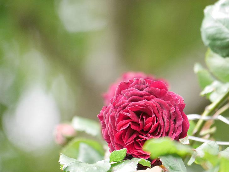 アンプルール・デュ・マロック(Empereur du Maroc)の花が増えてきた。ツルバラ。2021年-070.jpg