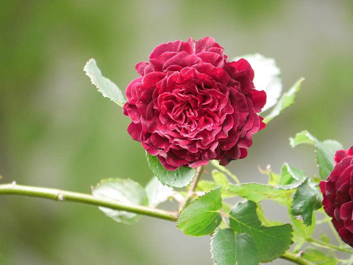 アンプルール・デュ・マロック(Empereur du Maroc)の花が増えてきた。ツルバラ。2021年-071.jpg