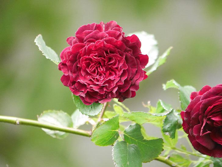 アンプルール・デュ・マロック(Empereur du Maroc)の花が増えてきた。ツルバラ。2021年-072.jpg