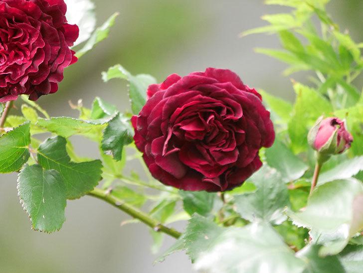 アンプルール・デュ・マロック(Empereur du Maroc)の花が増えてきた。ツルバラ。2021年-073.jpg