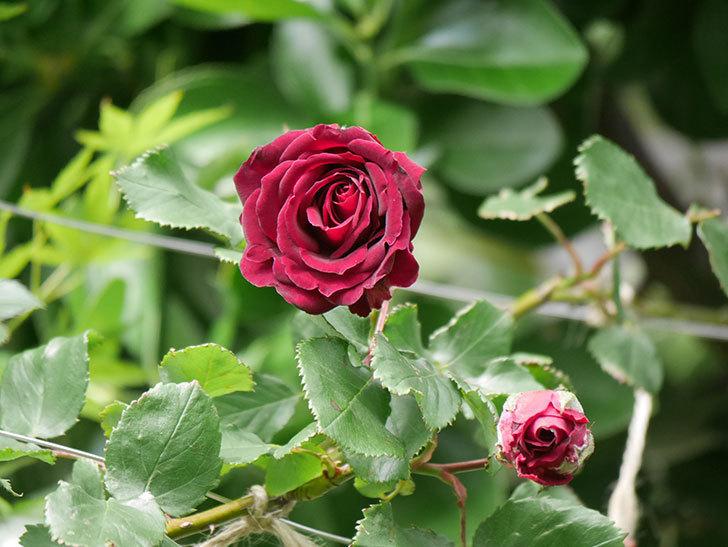 アンプルール・デュ・マロック(Empereur du Maroc)の花が増えてきた。ツルバラ。2021年-074.jpg