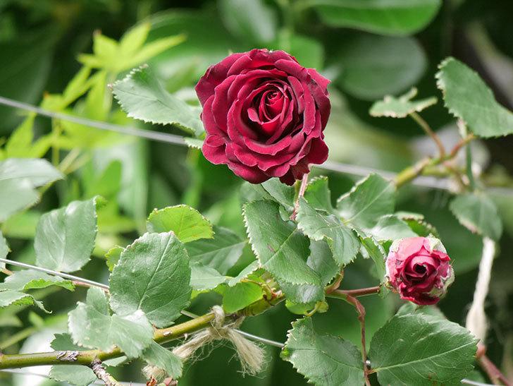 アンプルール・デュ・マロック(Empereur du Maroc)の花が増えてきた。ツルバラ。2021年-075.jpg