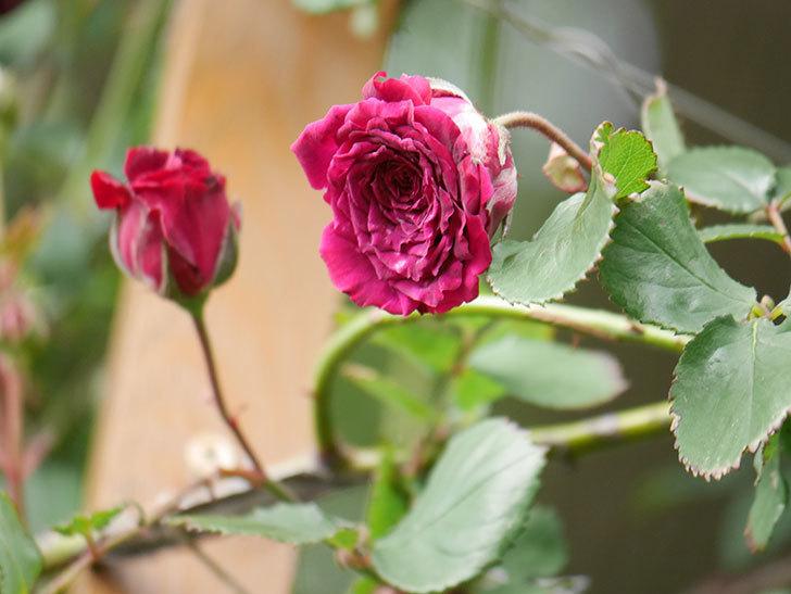 アンプルール・デュ・マロック(Empereur du Maroc)の花が増えてきた。ツルバラ。2021年-079.jpg