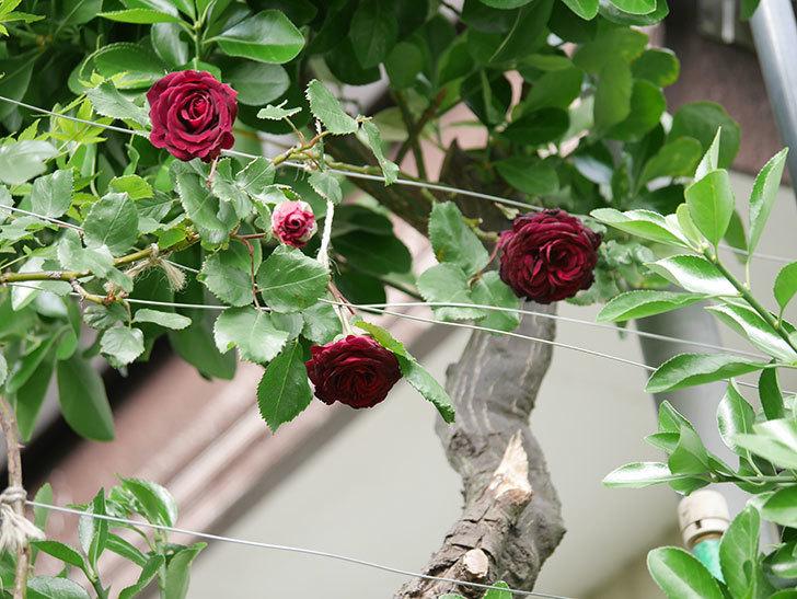 アンプルール・デュ・マロック(Empereur du Maroc)の花が増えてきた。ツルバラ。2021年-080.jpg
