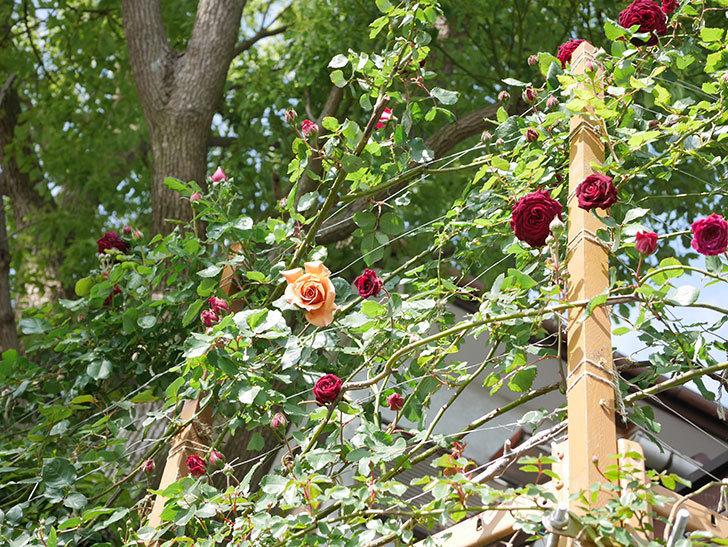 アンプルール・デュ・マロック(Empereur du Maroc)の花が増えてきた。ツルバラ。2021年-081.jpg