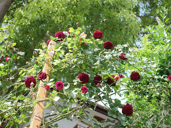 アンプルール・デュ・マロック(Empereur du Maroc)の花が増えてきた。ツルバラ。2021年-082.jpg