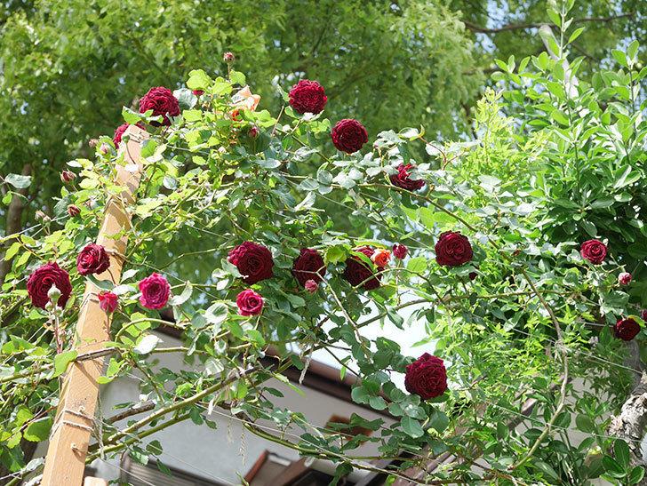 アンプルール・デュ・マロック(Empereur du Maroc)の花が増えてきた。ツルバラ。2021年-083.jpg
