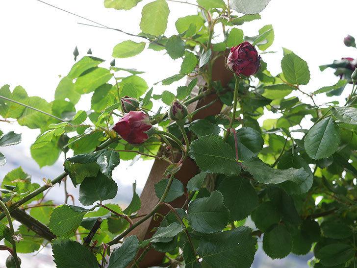 アンプルール・デュ・マロック(Empereur du Maroc)の花が増えてきた。ツルバラ。2021年-085.jpg