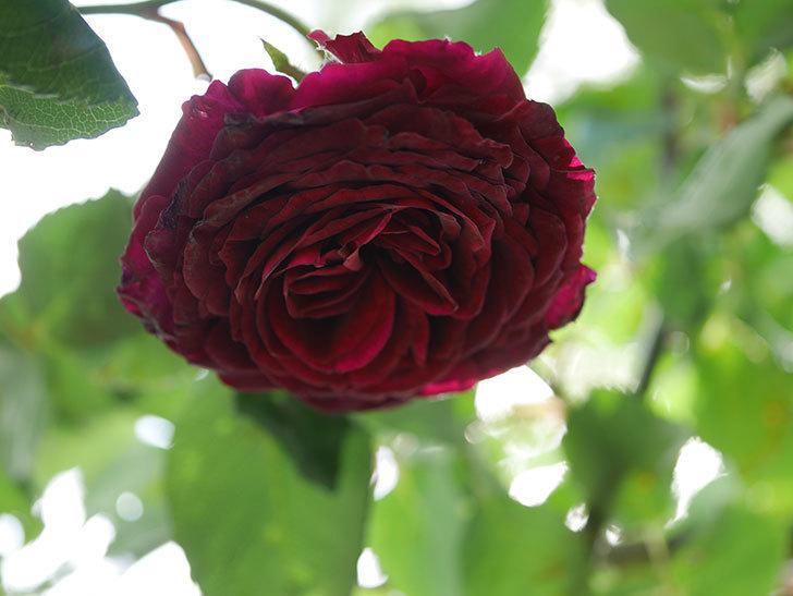アンプルール・デュ・マロック(Empereur du Maroc)の花が増えてきた。ツルバラ。2021年-088.jpg