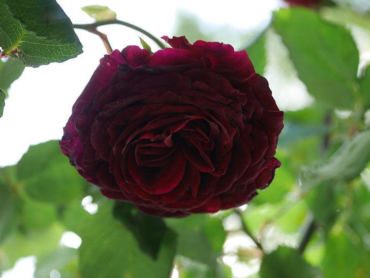 アンプルール・デュ・マロック(Empereur du Maroc)の花が増えてきた。ツルバラ。2021年-091.jpg