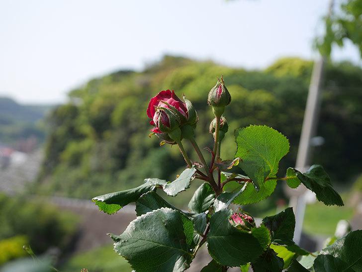 アンプルール・デュ・マロック(Empereur du Maroc)の花が少し咲いた。ツルバラ。2021年-003.jpg