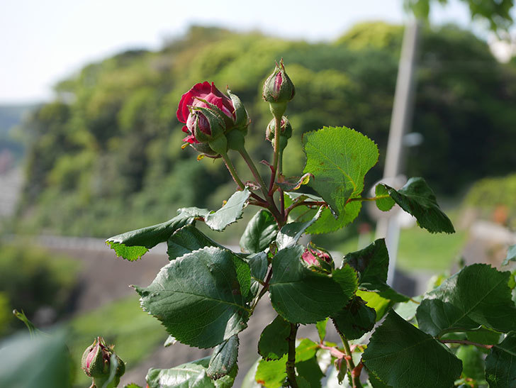 アンプルール・デュ・マロック(Empereur du Maroc)の花が少し咲いた。ツルバラ。2021年-004.jpg