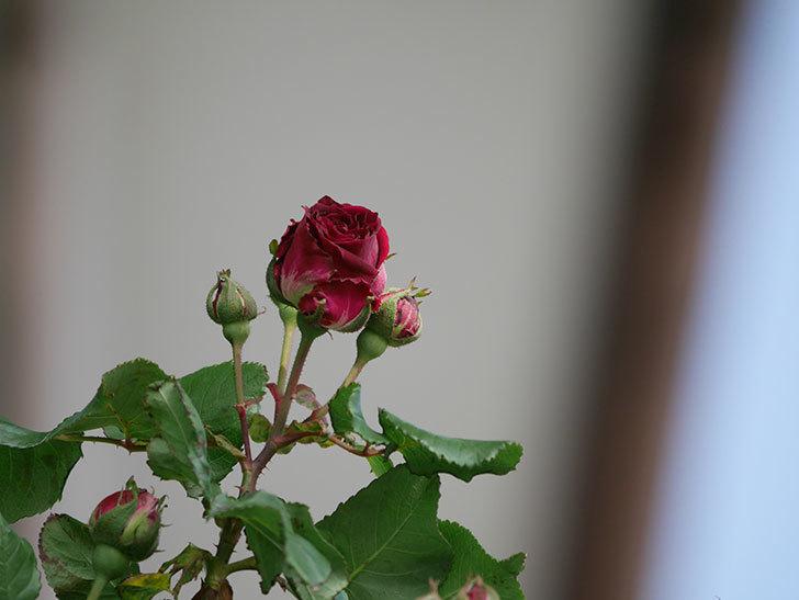 アンプルール・デュ・マロック(Empereur du Maroc)の花が少し咲いた。ツルバラ。2021年-008.jpg