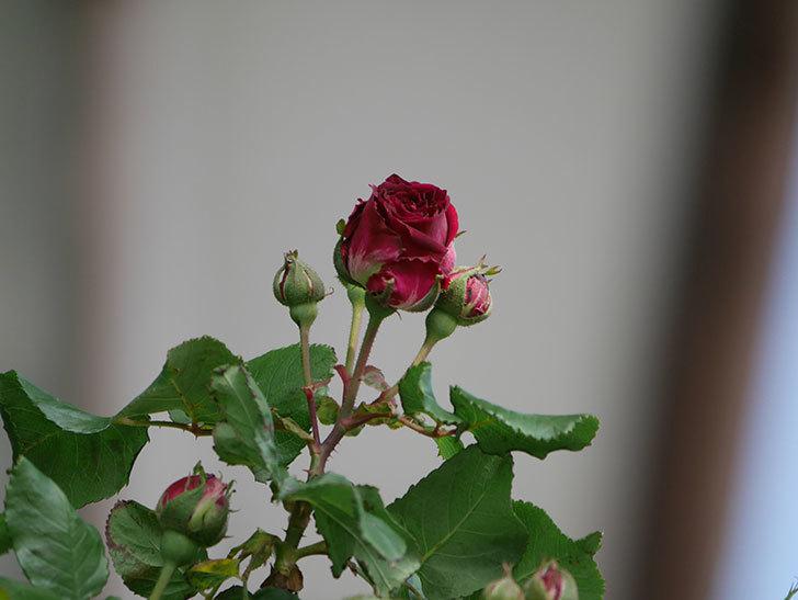 アンプルール・デュ・マロック(Empereur du Maroc)の花が少し咲いた。ツルバラ。2021年-009.jpg