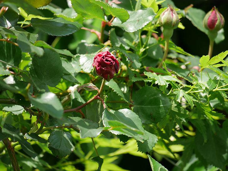 アンプルール・デュ・マロック(Empereur du Maroc)の花が少し咲いた。ツルバラ。2021年-012.jpg