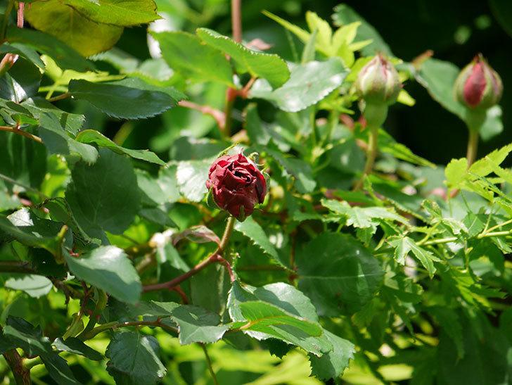アンプルール・デュ・マロック(Empereur du Maroc)の花が少し咲いた。ツルバラ。2021年-014.jpg