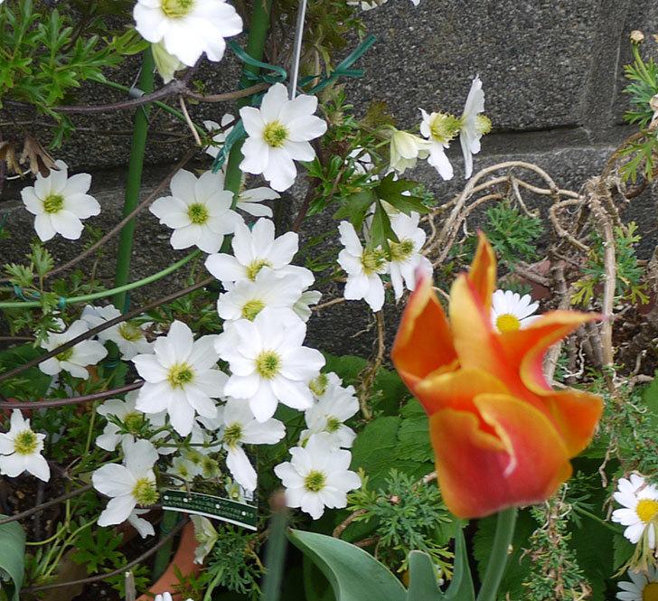 アーリーセンセーション(フォステリー系 旧枝咲き)が満開になった。2017年-3.jpg