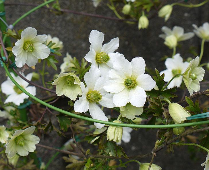 アーリーセンセーション(フォステリー系 旧枝咲き)の花が増えてきた。2017年-1.jpg