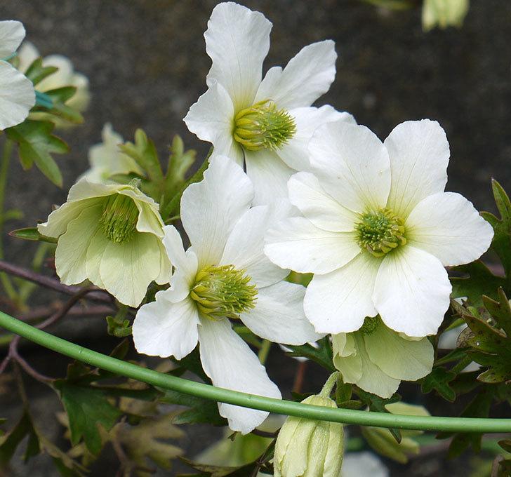 アーリーセンセーション(フォステリー系 旧枝咲き)の花が増えてきた。2017年-3.jpg
