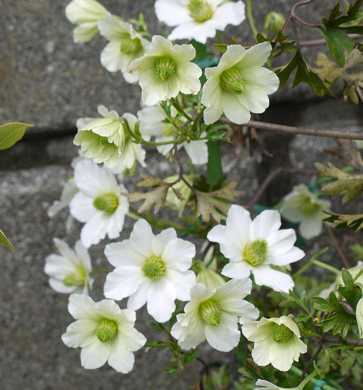 アーリーセンセーション(フォステリー系 旧枝咲き)の花が増えてきた。2017年-4.jpg