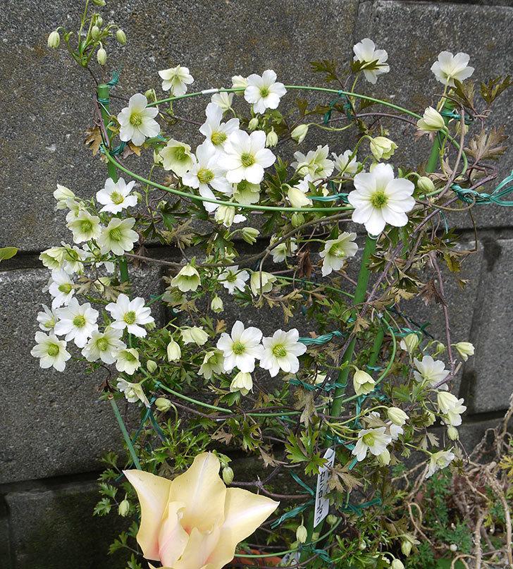 アーリーセンセーション(フォステリー系 旧枝咲き)の花が増えてきた。2017年-5.jpg