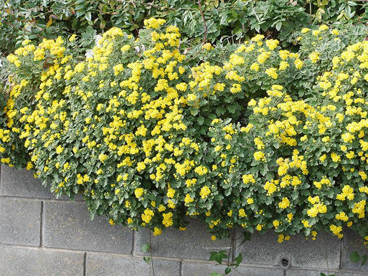 イソギクがたくさん咲いた。2018年-9.jpg
