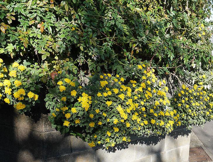 イソギクが咲いた。2018年-3.jpg