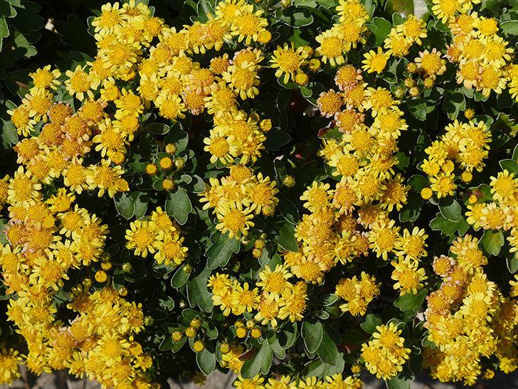 イソギクの花がたくさん咲いた。2019年-10.jpg