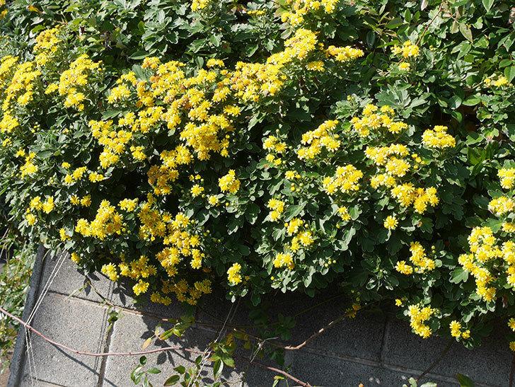 イソギクの花がたくさん咲いた。2019年-12.jpg