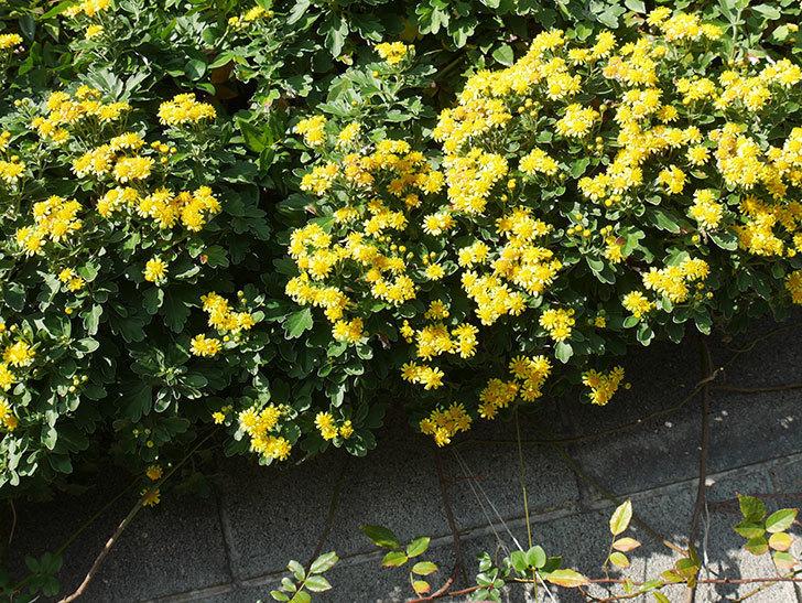 イソギクの花がたくさん咲いた。2019年-14.jpg