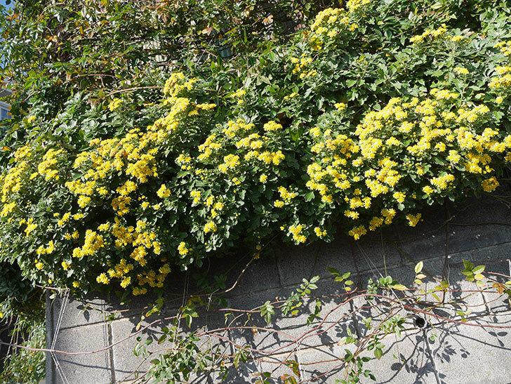 イソギクの花がたくさん咲いた。2019年-15.jpg
