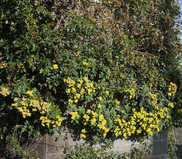 イソギクの花がたくさん咲いた。2019年-2.jpg