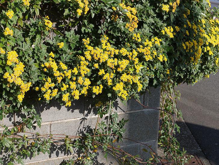 イソギクの花がたくさん咲いた。2019年-3.jpg