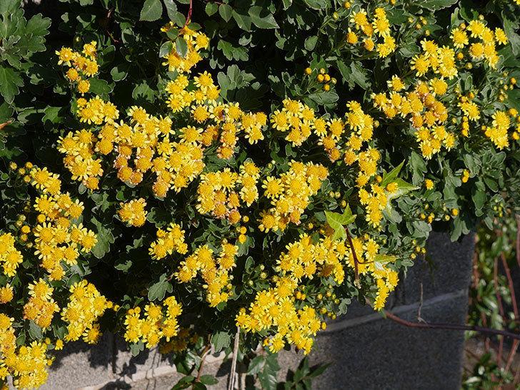 イソギクの花がたくさん咲いた。2019年-4.jpg
