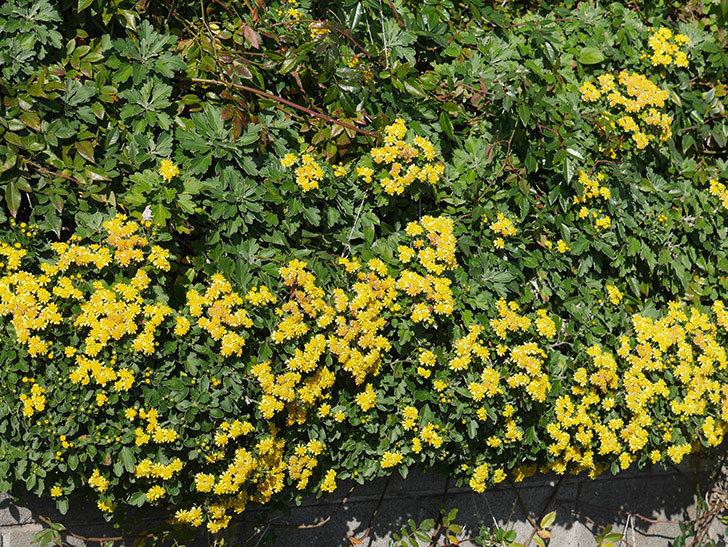 イソギクの花がたくさん咲いた。2019年-5.jpg
