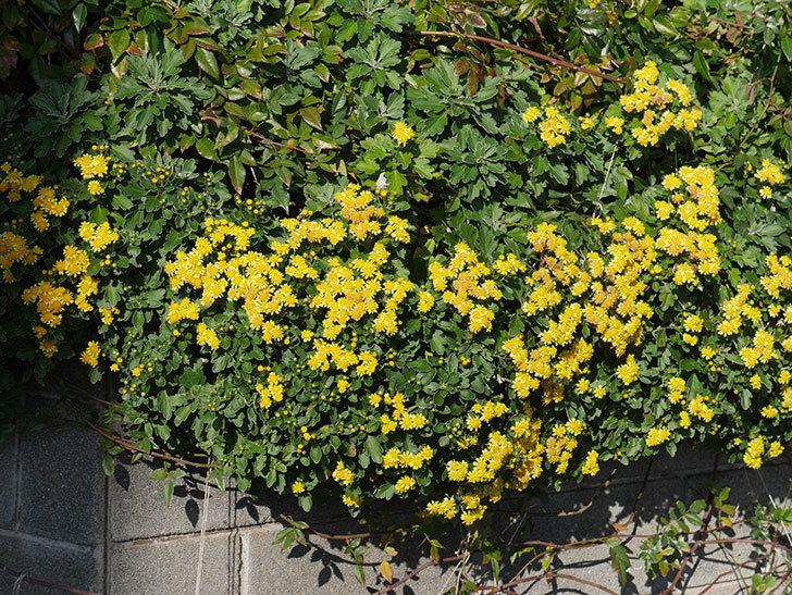 イソギクの花がたくさん咲いた。2019年-6.jpg