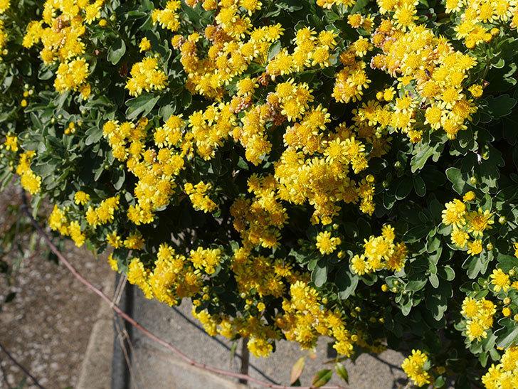 イソギクの花がたくさん咲いた。2019年-8.jpg