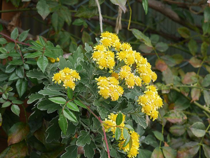 イソギクの花が咲いた。2020年-003.jpg